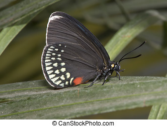 Atala butterfly on a leaf
