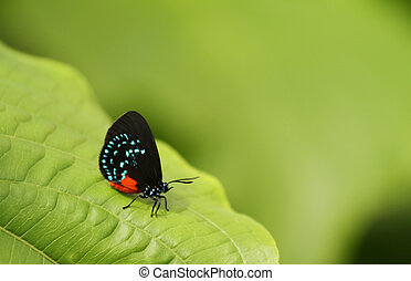 Once near extinction, the Atala butterfly rests on top a large green leaf.