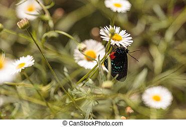 Atala hairstreak butterfly, Eumaeus atala