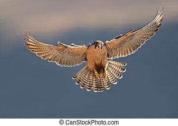 aterrizaje, halcón de lanner