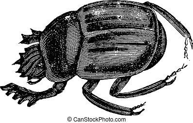 ateuchus, オオタマオシコガネ, aegyptiorum, ∥あるいは∥, 彫版, 型, かぶと虫