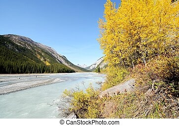 Athabasca River of yellow leaves,Canadian Rockies,Canada -...