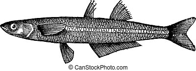Atherina notata, Dotted Silverside or Big-scale sand smelt fish. Vintage engraving.