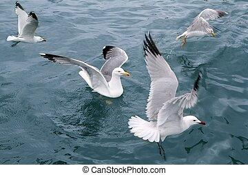 ativo, gaivotas mar, gaivotas, sobre, azul, mar, oceânicos