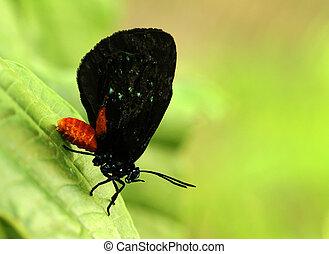 Atla butterfly