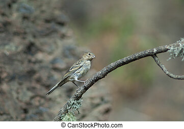 Atlantic canary Serinus canaria on a branch.