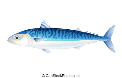 Atlantic mackerel fish in profile, isolated