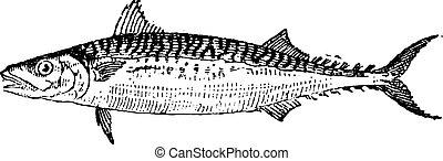 Atlantic Mackerel or Scomber scombrus, vintage engraving -...