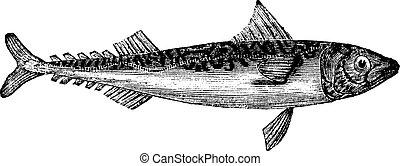 Atlantic mackerel or Scomber scombrus or Boston mackerel or Mackerel, vintage engraving. Old engraved illustration of Atlantic mackerel isolated on a white background.