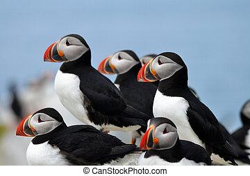Atlantic Puffin Bird Colony