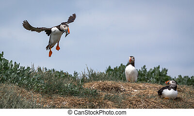 Atlantic Puffin (Fratercula arctica) in the wilds of coastal...