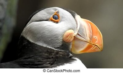 Atlantic Puffin Seabird In Wild