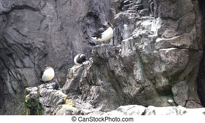 Atlantic Puffins. The Atlantic puffin has been hunted by man for several years and is strongly affected by oil spills.