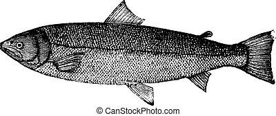 Atlantic salmon or Salmo salar or Bay salmon or Black salmon or Caplin-scull salmon or Fiddler or Grilse or Grilt or Kelt or Slink or Smolt or Sebago salmon or Winnish or Landlocked salmon, vintage engraving. Old engraved illustration of Atlantic salmon isolated on a white background.