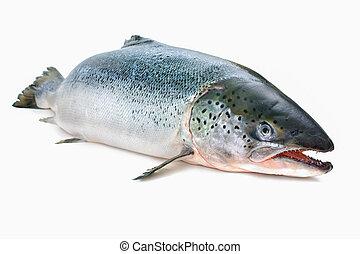 Atlantic salmon - Salmo salar. Atlantic salmon on the white...