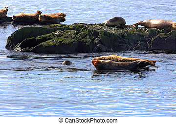 Atlantic Seals in Bay of Fundy - Over rocks in Atlantic...