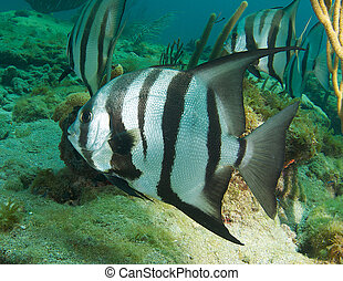 Atlantic Spadefish on a reef in south east Florida.