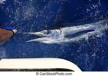 Atlantic white marlin big game sport fishing over blue ocean...