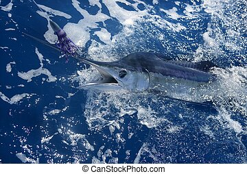 Atlantic white marlin big game sportfishing over blue ocean...
