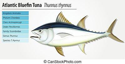 atlantisch, thunfisch, bluefin