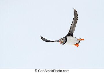 atlantycki puffin, flying.