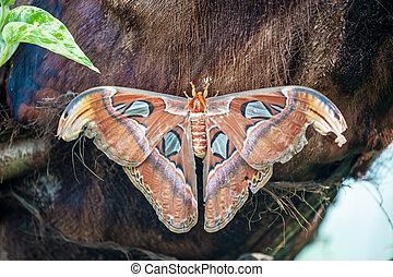 atlas,  attacus,  batterfly, noche