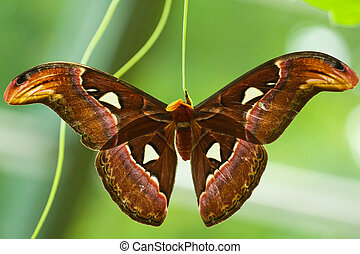 Atlas Moth (Attacus atlas) hatched from cocoon and drying it...