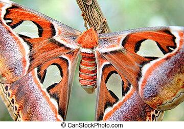 Atlas moth closer