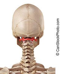 atlas, osso