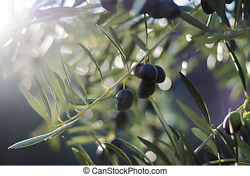 Olive tree - Atmospheric image of a Olive tree with black ...