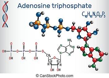 (atp), molécula, energia, intracellular, transferência,...