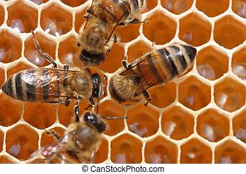 atrás, abejas, work.