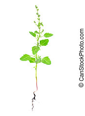 Atriplex plant with root isolated on white