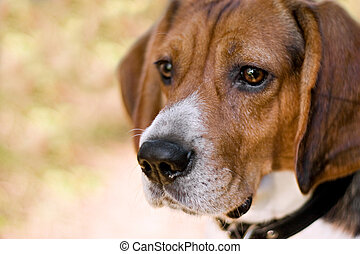 Attentive Beagle Dog - A young beagle dog gazing to the left...