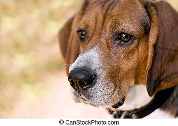 Attentive Beagle Dog