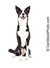 Attentive Border Collie Mix Breed Dog Sitting - An attentive...