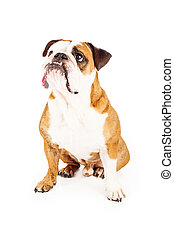 Attentive Bulldog Looking to Side