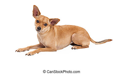 Attentive Chihuahua Mix Breed Dog Laying - An attentive...