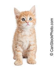 Attentive cute orange tabby kitty