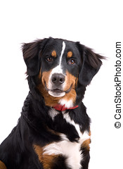 Attentive dog - Cute Bernese Mountain Dog sitting attentive...