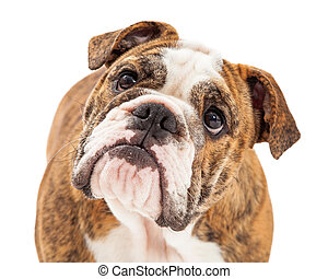 Closeup photo of an English Bulldog with an attentive expression