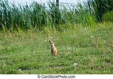 attentive fox in field