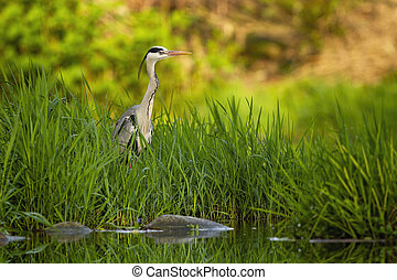 Attentive grey heron hiding in tall green grass near river ...