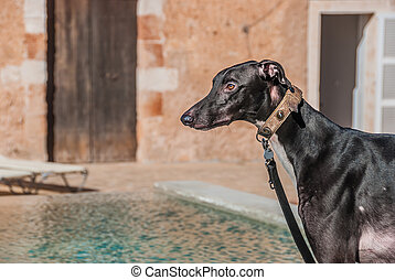 Attentive Greyhound dog with collar keeps a close watch -...