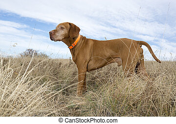 attentive hunting dog standing in field