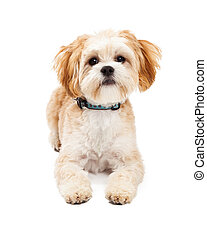 Attentive Maltese Mix Breed Dog Laying - Attentive Maltese...