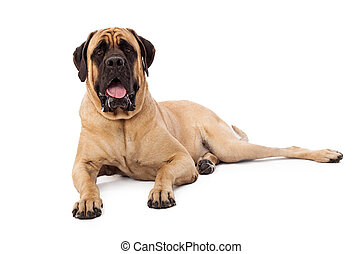 Attentive Mastiff Dog Laying - A large Mastiff dog laying ...