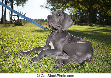 Attentive puppy - Grey Great Dane puppy on a leash listening...