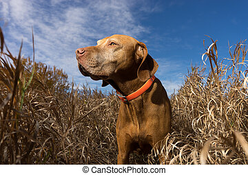 attentive pure breed pointing dog in tall grass