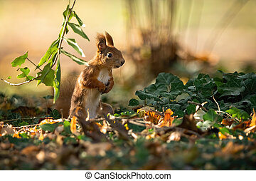 Attentive red squirrel standing on rear legs in upright position on the ground